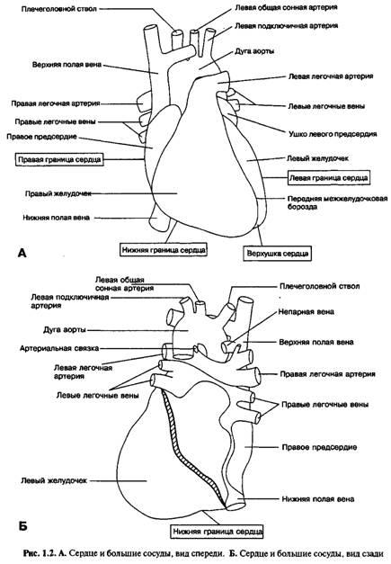 Анатомія поверхні серця