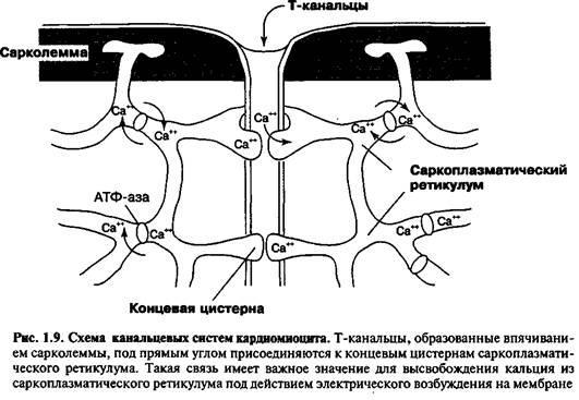 Гістологія клітин міокарда шлуночків