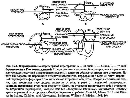 Поява міжпередсердної перегородок