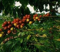 Кава аравійська