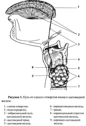 Основи знань про щитовидну залозу