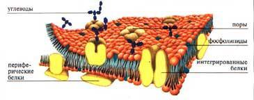 Цитоплазматична