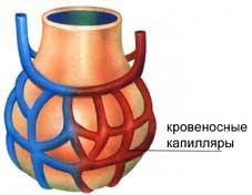 альвеола