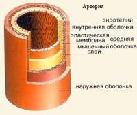 Артерії