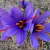 Шафран, або крокус посівний