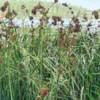Меч-трава