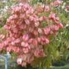 Мильне дерево