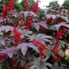 Рицина, рай-дерево