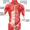 М'язи грудей і живота