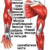 М'язи верхніх кінцівок
