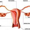 Розріз жіночих статевих органів