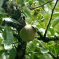 Чілібуха, або блювотний горіх