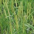 Рис посівний