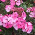 Герань рожева