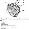 Фолікули щитовидної залози