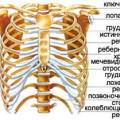 Кістки грудної клітки