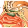 Нюхові органи