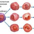 Кров: процес гемопоезу