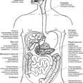 Органи травної системи