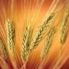 Пшенична дієта