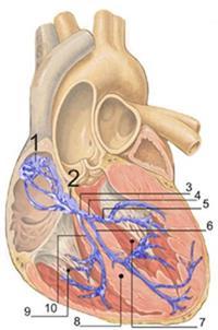 Внутрішньошлуночкових блокади