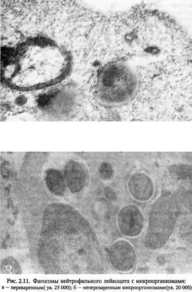 Клітинні реакції при запаленні, викликаному опіком шкіри