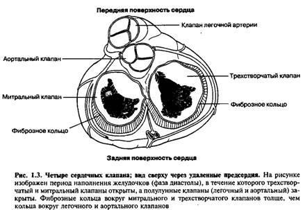 Внутрішня будова серця