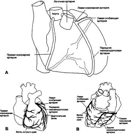 Іннервація серця