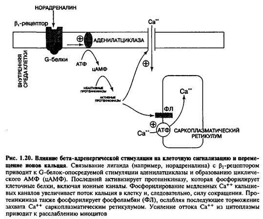 Бета-адренергічна стимуляція та клітинна сигналізація