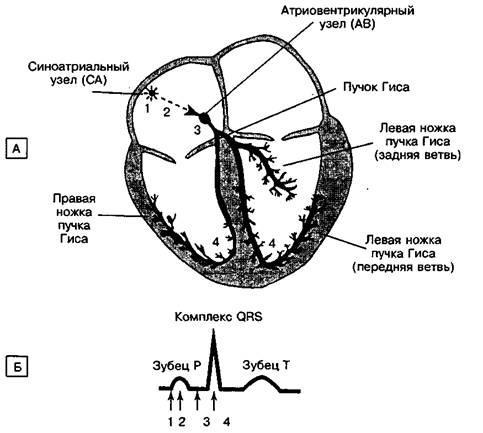 Нормальний процес поширення збудження в серці