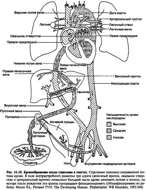 Кровообіг плода і зміни кровообігу після народження