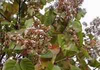 Хінне дерево