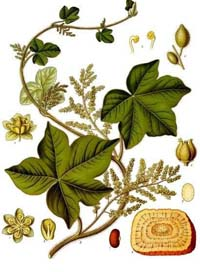 Ятроріза, або Коломбо
