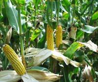 Кукурудза, або маїс