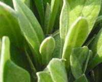 Огіркова трава