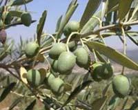 Маслина, або оливкове дерево, олива європейська