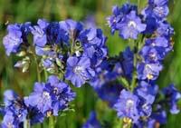 Синюха блакитна