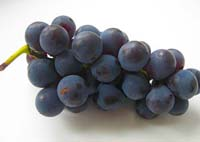 Виноград ізабелла, лабруска