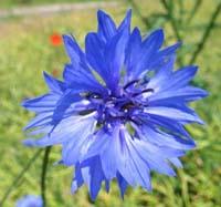 Волошка синя