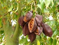 Какао, або шоколадне дерево