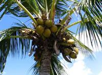 Дерево кокосу