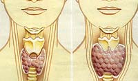 Функціональна роль щитовидної залози