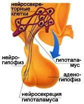гіпоталамус