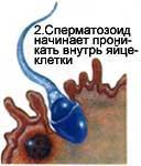 Сперматозоїд