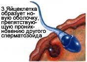 Яйцеклітина
