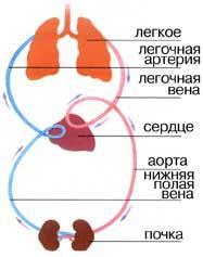 Кровообіг