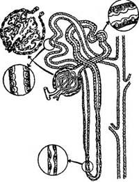 Сечовід